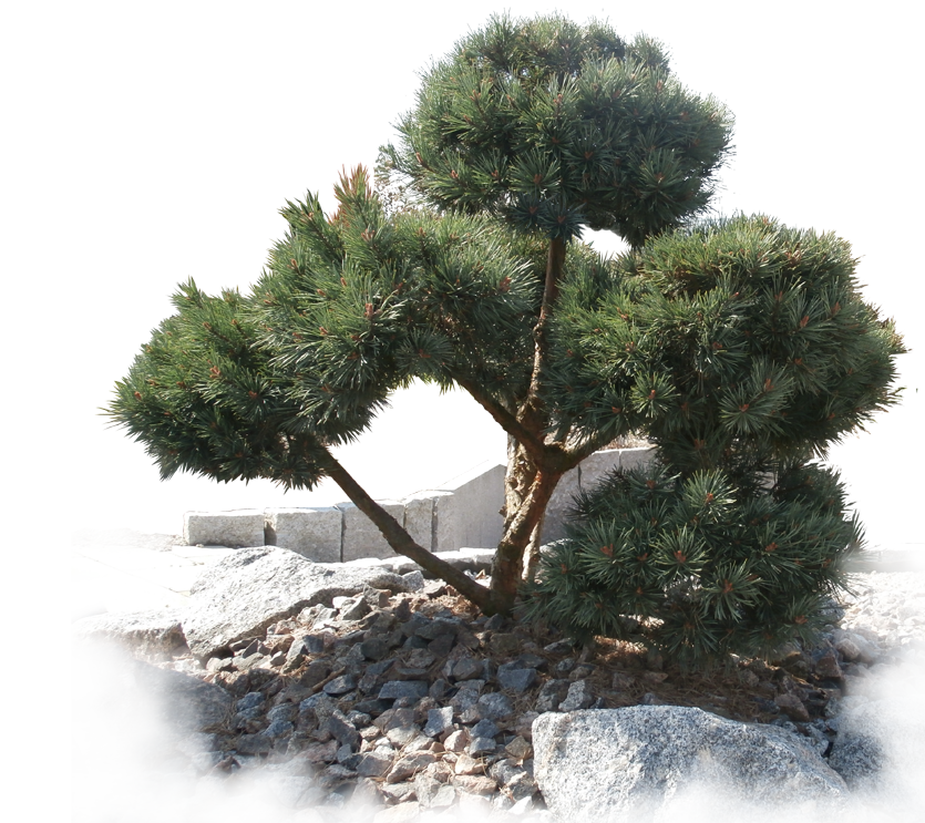 deeg Kiefer-Bonsai Gartenpflanze kaufen